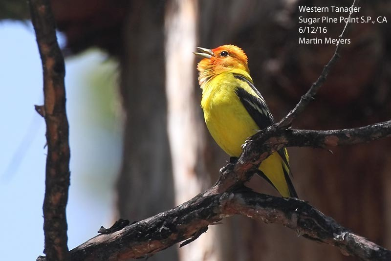 1-Western_Tanager_5_Sugar_Pine_Point_6-12-16